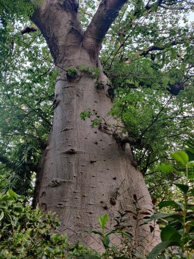 The Grand old Baobab